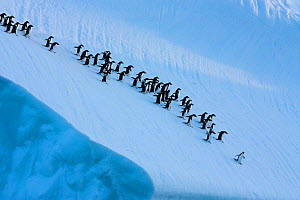 Adelie penguins (Pygoscelis adeliae) on ice floe, Antarctica.  Taken on location for BBC Frozen Planet series, January 2009  -  Kathryn Jeffs