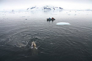 Filming Southern Type B Killer whales (Orcinus orca) in Antarctica. Taken on location for BBC Frozen Planet series, January 2009  -  Kathryn Jeffs