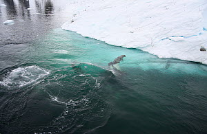 Southern Type B Killer whales (Orcinus orca) hunting Weddell seal (Leptonychotes weddelli) dragging seal under water to drown it, Antarctica.  Taken on location for BBC Frozen Planet series, January 2...  -  Kathryn Jeffs