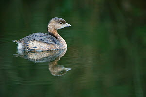 Pied-billed Grebe (Podilymbus podiceps) on water. Everglades Reserve, Florida, January. - Rob Tilley