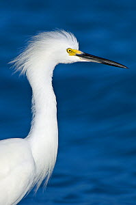 Snowy Egret (Egretta thula) head in profile. Florida, Sanibel, January.  -  Rob Tilley