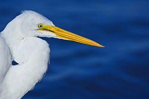 Great White Egret (Ardea herodia occidentalis) head in profile. Sanibel, Florida, January.  -  Rob Tilley