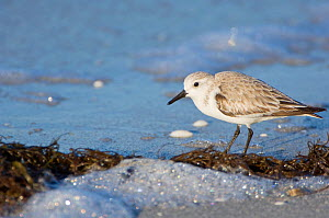 Black-bellied / Grey Plover (Pluvialis squatarola) foraging in surf. Sanibel, Florida, January.  -  Rob Tilley