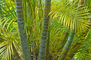 Areca Palm (Palmae) leaves and trunks. Maui, Hawaii, February.  -  Rob Tilley