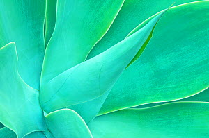 Agave (Agave sp.) leaf close-up detail. Maui, Hawaii, February.  -  Rob Tilley