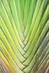Travelers Palm (Ravenala madagascariensis) leaf detail. Maui, Hawaii, February.  -  Rob Tilley
