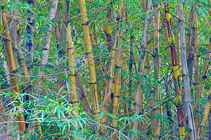 Bamboo (Poaceae) forest undergrowth. Oahu, Hawaii, February.  -  Rob Tilley