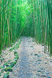 Pipiwai Trail through Bamboo (Poaceae) forest. Maui, Hawaii, February.  -  Rob Tilley