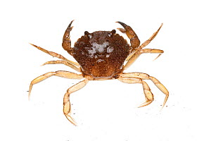 Common shore crab (Carcinus maenas) on white background, Scotland, UK meetyourneighbours.net project  -  MYN / Niall Benvie