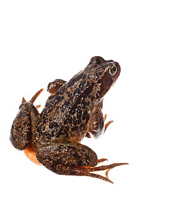 Comon frog (Rana temporaria) on white background, Scotland, UK, aprilmeetyourneighbours.net project  -  MYN / Niall Benvie