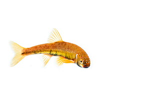 Male Minnow (Phoxinus phoxinus) in breeding colours on white background, Scotland, UK, May, meetyourneighbours.net project  -  MYN / Niall Benvie