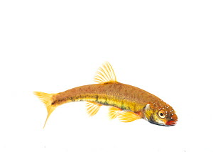 Male Minnow (Phoxinus phoxinus) in breeding colours on white background, Scotland, UK, May  -  Niall Benvie