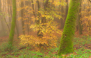 Beech trees in autumn mist, Morvan regional park, Burgundy, France, November 2010  -  Niall Benvie