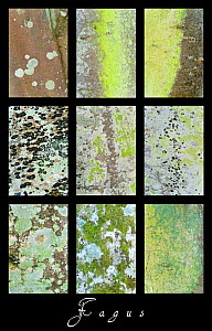 Composite of nine images of close ups of lichen and moss on bark of European Beech tree (Fagus sylvatica) Scotland, UK  -  Niall Benvie