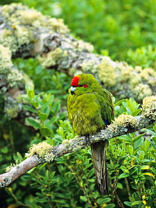 Red-crowned Parakeet (Cyanoramphus novaezelandiae) perched. Enderby Island, New Zealand. - Konrad Wothe