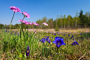 Gentian and Primula flowering in meadow. Upper Bavaria, Germany, May.  -  Konrad Wothe