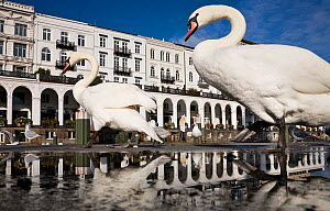 Mute Swans (Cygnus olor) in front of the Alsterarkaden. Hamburg, Lower Saxony, Germany, Europe, November. - Konrad Wothe