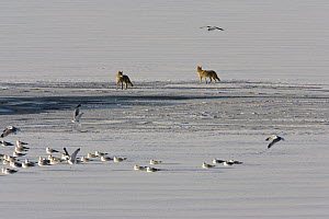 Two Coyotes (Canis latrans) watching flock of Ring-billed gulls (Larus delawarensis) on frozen reservoir, Cherry creek state park, Denver, Colorado, USA, February  -  Shattil & Rozinski