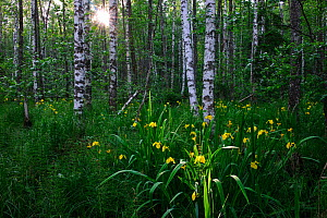 Yellow Flag Iris (Iris pseudacorus) flowering in birch forest. Estonia, Europe, June.  -  Sven Zacek