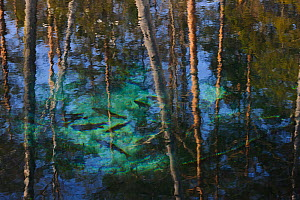 Fish seen through water and the reflections of trees. Jogeva maakond, Estonia, Europe, February. - Sven Zacek