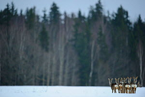 Small herd of Roe Deer (Capreolus capreolus) looking back at the photographer against forested background. Virumaa, Estonia, Europe, February. - Sven Zacek