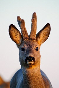 Roe Deer (Capreolus capreolus) buck portrait with developing antlers in velvet. Estonia, Europe, March.  -  Sven Zacek