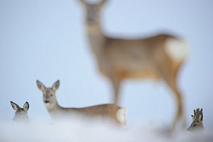 Roe Deer (Capreolus capreolus) from different angles, only one in focus. Virumaa, Estonia, Europe, March. Winner of the Mammals category in GDT competition 2013. 2nd Prize in the Mammals Category of M... - Sven Zacek