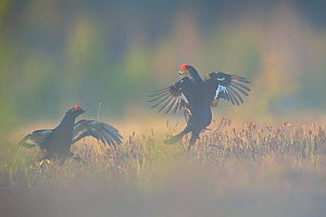 Two Black Grouse (Tetrao tetrix) fighting at a lek. Virumaa, Estonia, Europe, April. - Sven Zacek