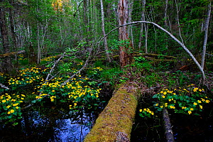March Marigolds (Caltha palustris) in flower in wetland woodland floor. Estonia, Europe, May.  -  Sven Zacek