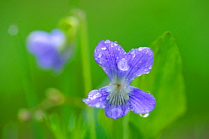 Common Dog Violet (Viola riviniana) with dew. Estonia, Europe, May.  -  Sven Zacek