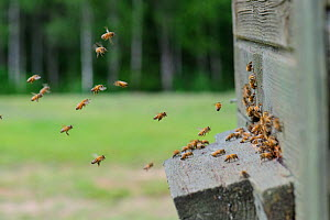 Honey Bees (Apis mellifera) flying around the entrance to their (domestic) hive. Estonia, Europe, June. - Sven Zacek