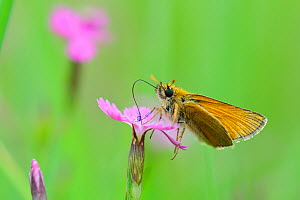 Small Skipper Butterfly (Thymelicus sylvestris) feeding on flowers. Estonia, Europe, June. - Sven Zacek