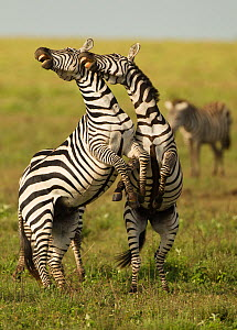 Common Zebra (Equus quagga) stallions fighting. Naabi Plains, Serengeti National Park, Tanzania.  -  Mary McDonald