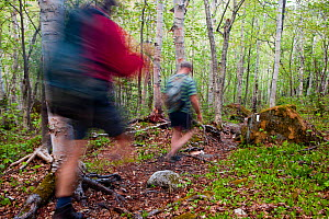 Two men hiking through a Paper birch forest on the Appalachian Trail, Crocker Mountain, Stratton, Maine, USA, Model released, May 2010  -  Jerry Monkman