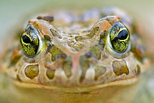 Portrait of Balearic Green Toad (Pseudepidalea balearica / Bufo balearicus) close up, Mallorca, The Mediterranean. - Bert Willaert