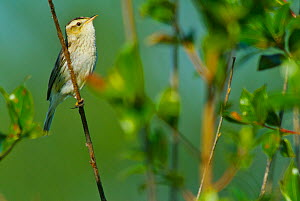 Aquatic Warbler (Acrocephalus paludicola) perched. Belarus, Europe, September. - Bert Willaert