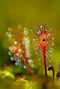 Great Sundew (Drosera anglica) peduncles, with sticky droplets to ensnare insects. Belarus, Europe, July. - Bert Willaert