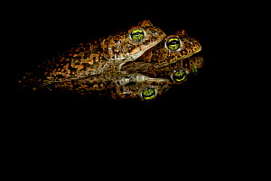 Amplectant pair of Natterjack Toads (Epidalea / Bufo calamita) with reflection in water. Belgium, Europe, July. - Bert Willaert