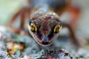 Banded Ground Gecko (Geckoella deccanensis) portrait. Western Ghats, India, July. - Bert Willaert