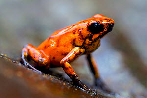 Brightly Coloured Poison-Dart Frog (Oophaga sylvatica). Ecuador, South America. - Bert Willaert