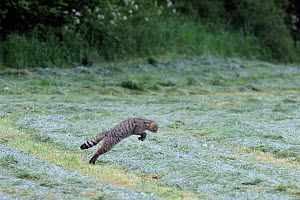 Wild cat (Felis silvestris) pouncing in field, sequence 1/3, Vosges, France, May - Fabrice Cahez