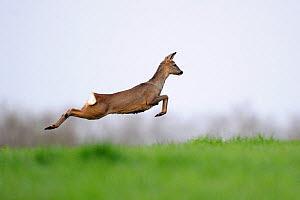 Female Roe deer (Capreolus capreolus) leaping, Vosges, France, April  -  Fabrice Cahez