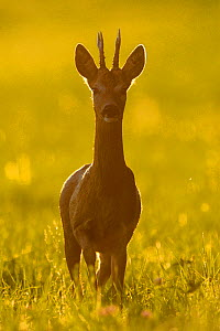 Roe deer (Capreolus capreolus) at sunset, Vosges, France, August  -  Fabrice Cahez