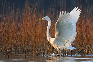 Great egret (Ardea alba) flapping wings, Vosges, France, March - Fabrice Cahez