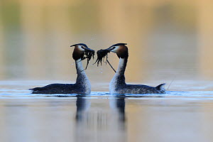 Great crested grebe (Podiceps cristatus) pair displaying with pondweed in their beaks, Vosges, France, March - Fabrice Cahez