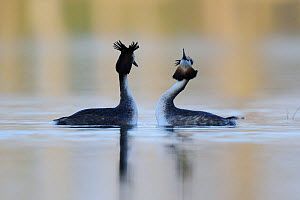 Great crested grebe (Podiceps cristatus) pair displaying, Vosges, France, March  -  Fabrice Cahez