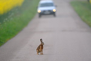 European hare (Lepus europaeus) on road with car approaching, Vosges, France, April - Fabrice Cahez