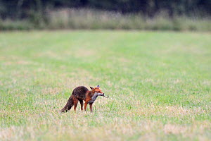 Red fox (Vulpes vulpes) in field with earthworm prey, Vosges, France, June - Fabrice Cahez