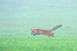 Red fox (Vulpes vulpes) pouncing while hunting in field, Vosges, France, August  -  Fabrice Cahez