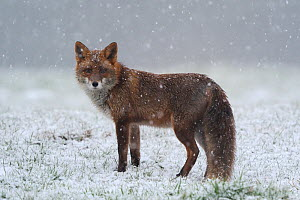 Red fox (Vulpes vulpes) in snow, Vosges, France, January  -  Fabrice Cahez